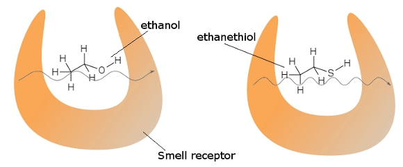 Smell receptors can detect the differences between similarly-shaped molecules by tunneling a small current across them, causing a characteristic vibration.